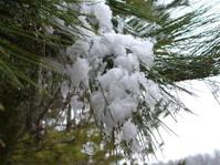 Snow On Pine Tree Needles