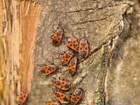 Fire-colored Beetle (Pyrochroidae)