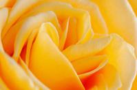 Perfect rose macro shot