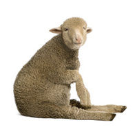 Merino lamb, sitting and looking at the camera.