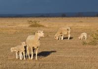 Female sheep with twin lambs
