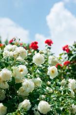 Rose shrub (Rosa centifolia)
