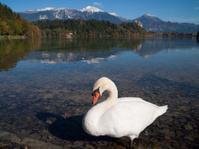 White Swan on Lake Bled