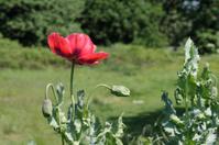 Red opium poppy Papaver somniferum growing on waste ground