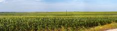 cornfield panorama