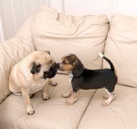 Beagle and Pug Kissing