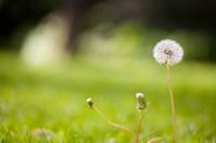 dandelion on summer grass