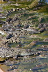 Crocodile Danger