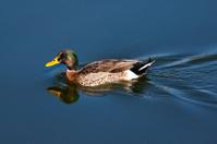 Cross between a yellow-billed duck and mallard