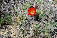 Cactus with a Single, Red Flower