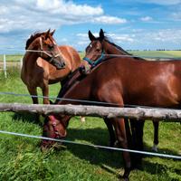 Bay horses at pasture