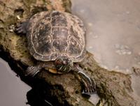 Mr. Turtle -- look at me!