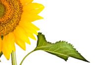 Close-up of  Quarter Sunflower
