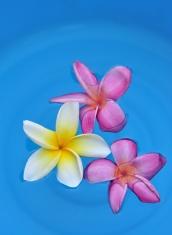 Floating frangipani