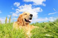 Golden retriever dog on a grassy meadow