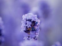 Lavender Head