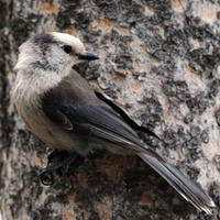 Clark's Nutcracker (Nucifraga columbiana) Perching on Pine Tree