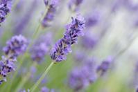 true blue lavender