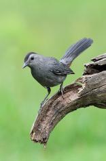 Gray Catbird Dumetella carolinensis