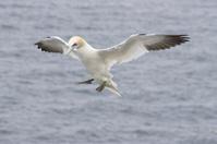 Gannet in Flight (Morus bassanus)