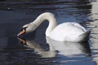Breaking the ice on mute swan Cygnus olor frozen lake