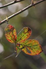 Multicolored leaf
