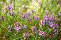Blooming thyme flowers