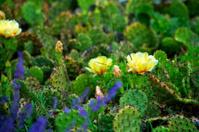 Prickly Pear Cactus Spring Bloom