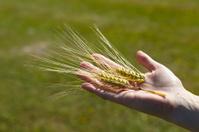wheat grain in hand