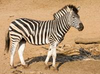 Posing Zebra