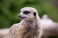 Meerkat Smurk