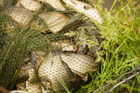 Carps in the landing net: fishing farm