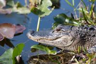 American Florida Alligator