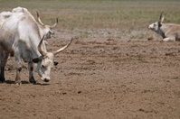 Resting gray cattles