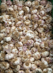 Fresh cloves of Garlic
