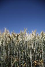 Fisheye shot of barley field and blue sky