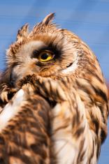 Closeup portrait of an owl.  Asio flammeus