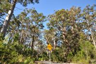 Western Australia Tingle giant tree