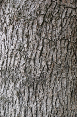 Oak trunk texture