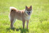 Japanese traditional dog(shiba inu dog)