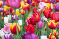 Colorful Flower Tulips