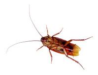 American Cockroach (Periplaneta americana)