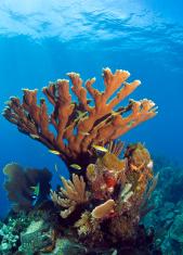 Underwater coral reef elkhorn