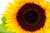 beautiful sunflower in closeup