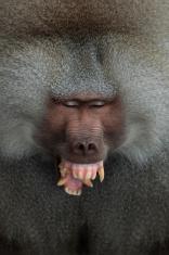Baboon.