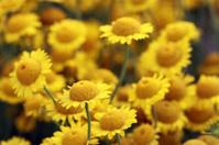 Golden Marguerite (Anthemis tinctoria)