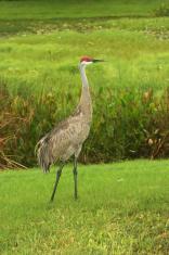 Adult Sandhill Crane (Posing)
