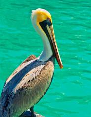 Colorful Pelican