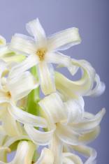 Beautiful springtime narcissus