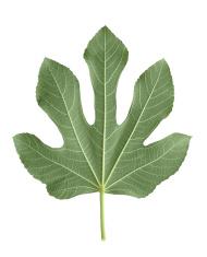 Fig leaf on white